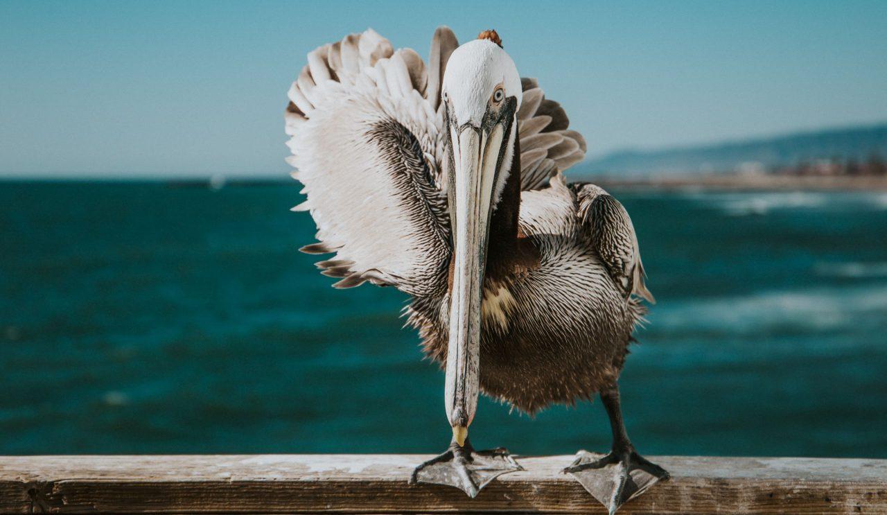 Kitchen Confidential – Pensive Pelican
